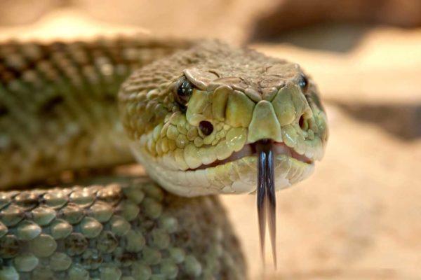 dangerous foods rattlesnake